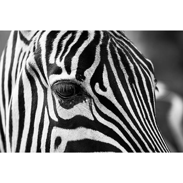 Diamond Painting Zebra Oog